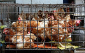 Chickens — Stock Photo