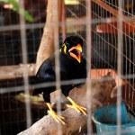 Thai talking bird — Stock Photo #3081171
