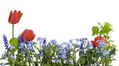 Border from myosotis and tulips — Stock Photo