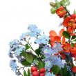 Stock Photo: Quince and Forget-me-nots