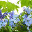 Stock Photo: Forget-me-nots (Myosotis) background
