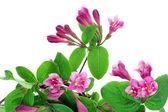 Pink Weigela background — Stock Photo