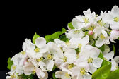 Blossoming apple-tree in night — Stock Photo