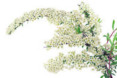 Branch of white Spiraea — Stock Photo