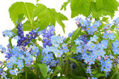 Forget-me-nots (Myosotis) background — Stock Photo
