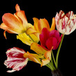 图库照片: Rare tulips on black