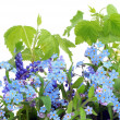 Stock Photo: Isolated Forget-me-nots (Myosotis)