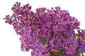 Purple lilac background — Foto Stock