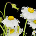 Daisies on the black macro — Stock Photo