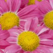 Pink camomiles background macro — Stock Photo #3369743