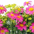 Pink camomiles background — Stock Photo #3369844