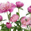 Постер, плакат: Pink June peonies and a green bug