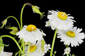 Daisies on the black macro — Stock Photo