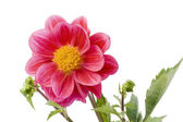Dwarfish dahlia — Stock Photo