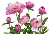 Pink June peonies and a green bug — Stock Photo
