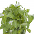 Bunch of green wet mint — Stock Photo