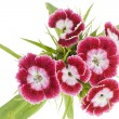 Stock Photo: Pink carnations macro