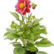 Small flower in small pot — Stock Photo #3451936