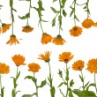 Isolated flowers of calendula — Stock Photo #3451999