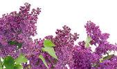 Purple lilac postcard — Stock Photo