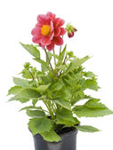 Small flower in a small pot — Stock Photo