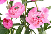 Pink peonies and bugs — Stockfoto