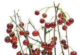 Branches of a ripe cherry without leaves — Stock Photo