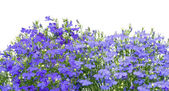 Thousands small dark blue florets — Stock Photo