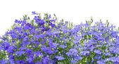 Thousands small dark blue florets — Stock Photo