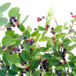 "Stock Photo: Bush runaways ""Rhamnus frangula"""
