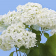 Stock Photo: Isolated white hydrangea