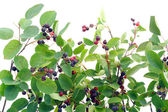 "Bush runaways ""Rhamnus frangula"" — Stock Photo"