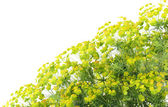 """Plant """"Euphorbia """" background — Stock Photo"""