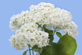 Isolated white hydrangea — Stock Photo