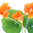 Stock Photo: Isolated Nasturtium macro