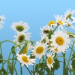 Stock Photo: Camomiles isolated on cyan