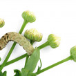 Caterpillar on camomile buds — Stock Photo