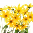 Topinambur yellow flowers background — Stock Photo