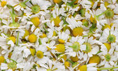 The medical camomile — Stock Photo