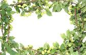 Wild green plums frame — Stock Photo