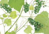 Isolated unripe green grapes — Stock Photo