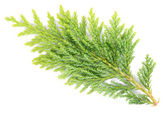 Branch of a Thuja macro — Stock Photo
