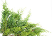 Evergreen thuja — Stock Photo