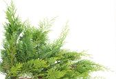 Evergreen thuja — Stock Photo