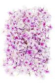 Pink phloxes medallion — Stock Photo