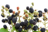 Garden blackberry on branches — Stock Photo