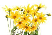 Topinambur yellow flowers background — Stock Photo