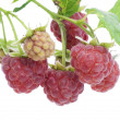 Ripe and unripe raspberry postcard — Stock Photo