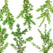Royalty-Free Stock Photo: Evergreen  branches  Boxwood set