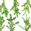 Evergreen branches Boxwood set — Stock Photo